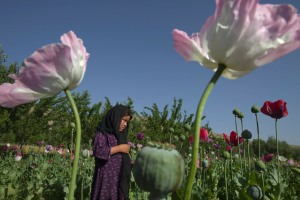 Poppy Cultivation More Than Doubled In Badakhshan